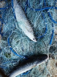 Burano poisson filet de peche